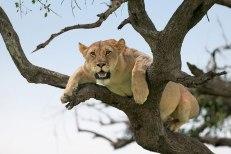 lion_tree2 Singita