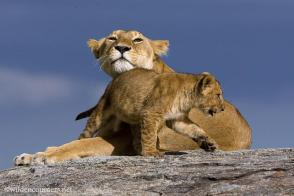 Lioness and cub on rock, Serengeti NP, Tanzania