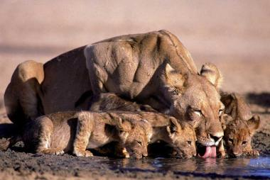 Lioness and cubs, Chobe NP, Botswana