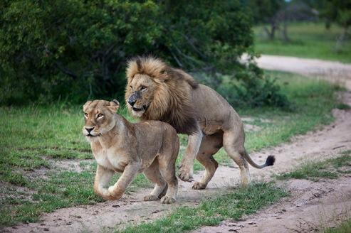 lioness-jumpsaway
