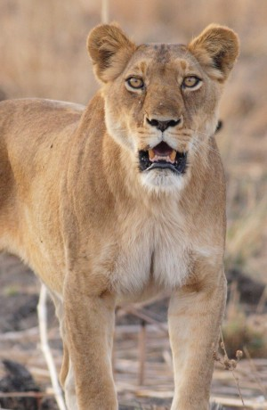 lioness_on_floodplain_jpg_13467