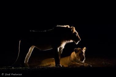Lions at night South Luangwa - Isak Pretorius Wildlife Photography