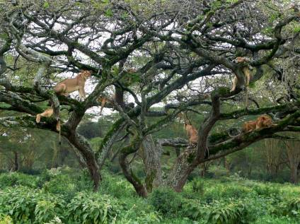 lions-tree_Nakuru