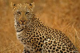 Lovely female leopard in the Kruger Park. Photo by Angie Ritter.