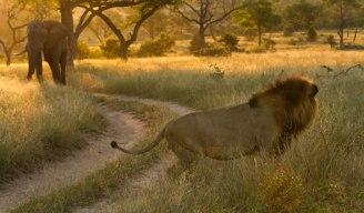 Majingilane male and bull elephant - Londolozi