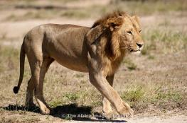 Male Lion @ Gorongosa NP, MOZAMBIQUE - photo Ariadne van Zandbergen