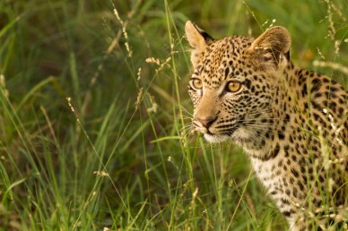 Mashaba cub - Londolozi