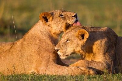 Mates Masai Mara - Isak Pretorius Wildlife Photography