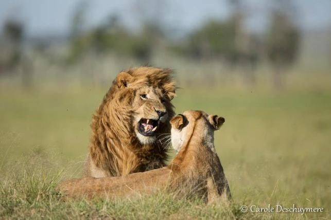 Mating lions in the Masai Mara (Kenya), by Carole Deschuymere.