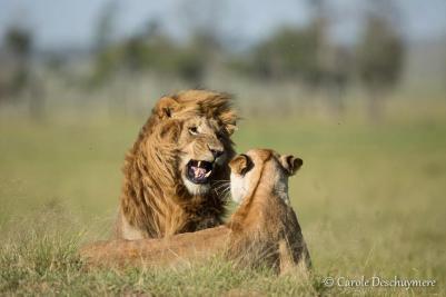 Mating lions in the Masai Mara (Kenya), by Carole Deschuymere.