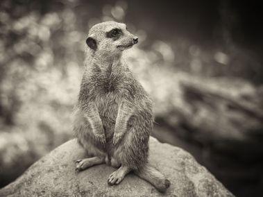 meerkat-portrait_62987_990x742