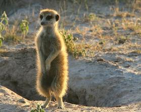 Meerkat warming-up in the morning