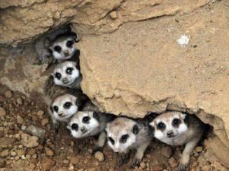 Meerkats in the Kalahari Desert