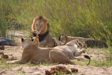 More of Londolozi's favourite pride, the Mhangeni lionesses and cubs spend time with the Dark-maned Majingilane