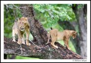 More tree lions