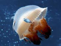 mosaic-jellyfish-australia_22665_990x742