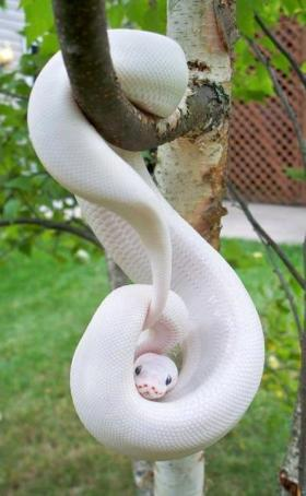 Most species are nonvenomous and those that have venom use it primarily to kill and subdue prey rather than for self-defense. Some possess venom potent enough to cause painful injury or death to humans. No