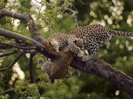 Mother holds cub - Okavango Delta