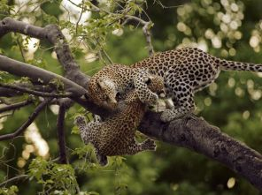 Mother holds cub - Okavango Delta