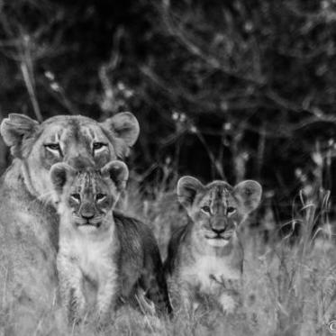 Mountain lioness and cubs - Phinda