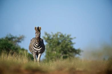 Near Satara KNP - (Chris Martin Wildlife Photography)