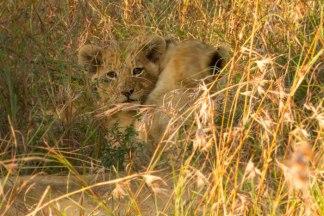 New cub at Londolozi