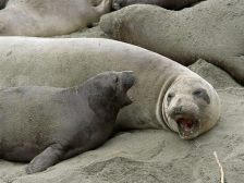 Northern Elephant Seal and Her Pup