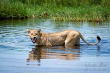 Okavango swimmer by Dana Allen - PhotoSafari