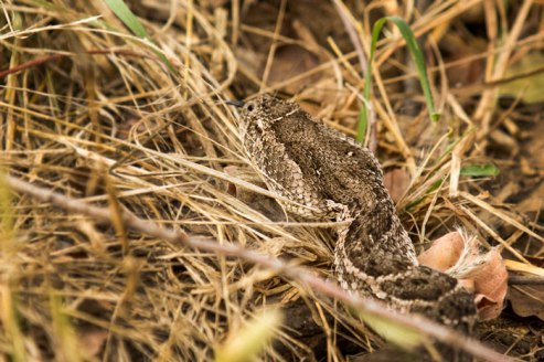 One of Africa's deadliest snakes, and certainly one of its fastest strikers, the puff-adder is responsible for more fatalities on the African continent than any other.