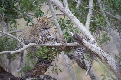 One of the Nanga cubs gets bullied out of a Gwarrie Tree by its sibling.