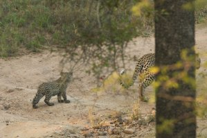 Partly obscured by a Tamboti tree - abrand new cub