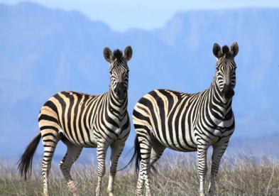 Plains Zebra (Equus Quagga Quagga)