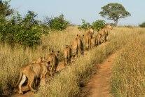 Pride in search of buffalo
