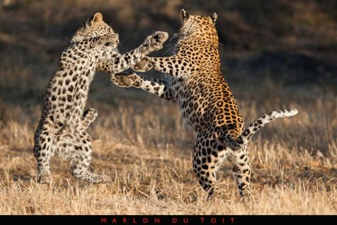 Pure magic this morning as a leopardess has some fun with one of her cubs.