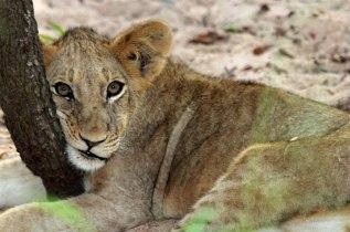Resting cub