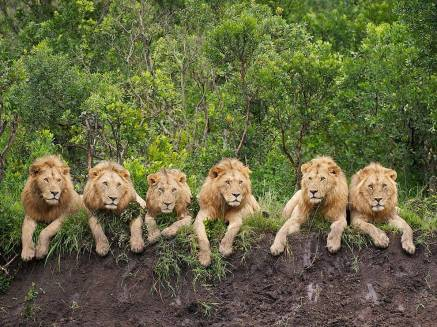 resting-lions-tanzania_Kleins Camp - Serengeti