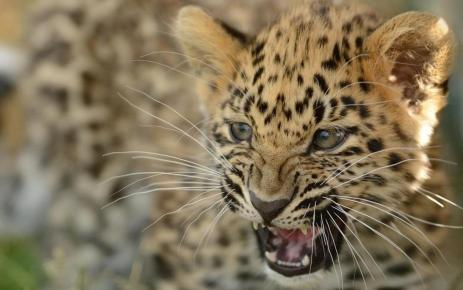 Roar of the Amur leopard cub!