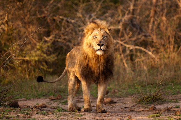 Scar-nosed-Majingalane male at Sand River - 5Oct12 Londolozi