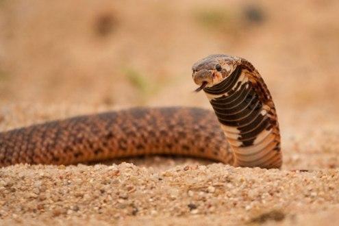 Shield-nose Cobra