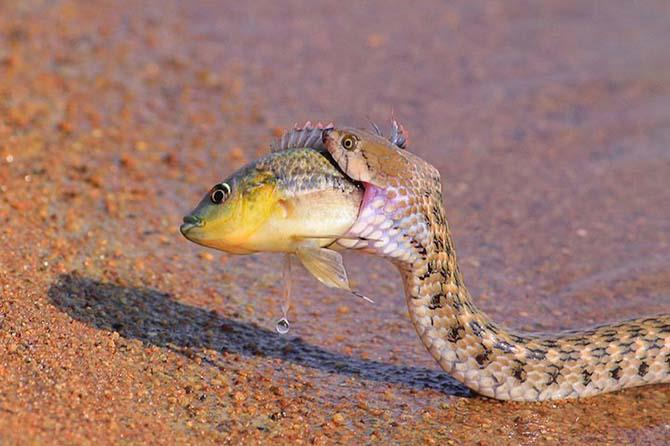 Snake eating fish by Hemant Kumar