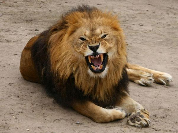 Snarling male