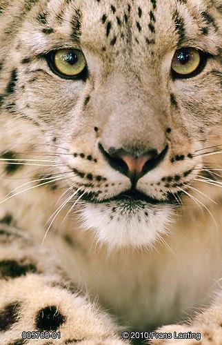 snow leopard- Frans Lanting