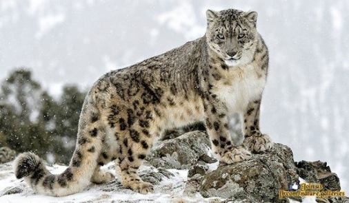 Snow Leopard - Wild Life With Amazing Nature