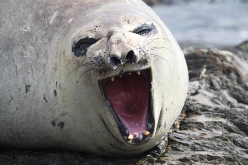 Southern Elephant Seal (Mirounga leonina).