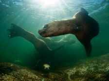 stellar-sea-lions-british-columbia_37922_990x742