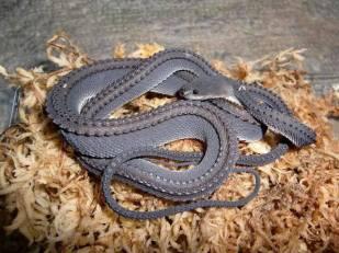 The Dragon Snake