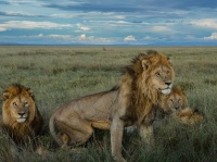 The Killers, a male coalition of four, earned their name with lethal attacks on females. by Mike Nichols