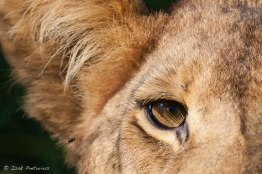 The lion and the fly - Isak Pretorious Wildlife Photography