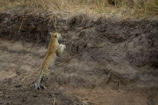 The Nanga female jumps up a steep bank in the Manyelethi Riverbed.
