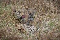 The Nanga female nurses her cubs on the banks of the Manyelethi River.